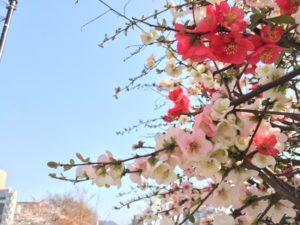 猿猴川 桜4