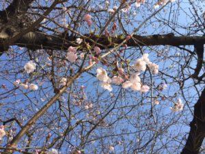 猿猴川 桜3